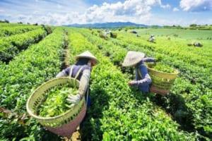 Vùng chè Thái Nguyên Khe Cốc là nơi đầu tiên áp dụng mô hình hữu cơ