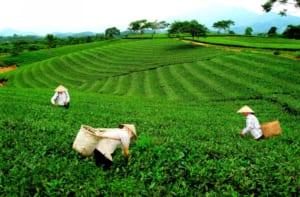 Vùng chè Thái Nguyên La Bằng được xem là vùng chè lâu đời nhất ở đây