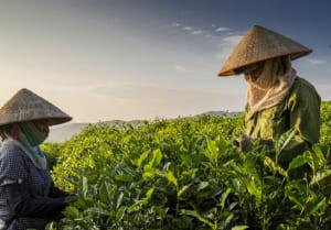 Điều kiện tự nhiên thuân lợi tạo nên hương vị đặc trưng của trà xanh Thái Nguyên
