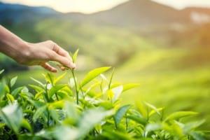 Vào mùa xuân và mùa thu thì dù trà thái nguyên giá có rẻ thì vẫn rất chất lượng