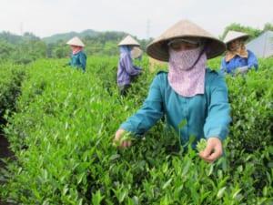 quy trình sản xuất chè xanh bắt đầu bằng việc thu hái chè