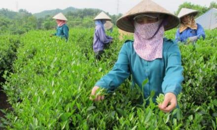Trà Xanh Thái Nguyên – Đệ Nhất Danh Trà Việt Nam